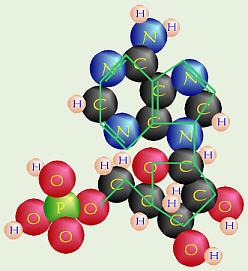 nucleotide.jpg